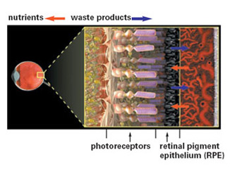 In the healthy retina, a layer of cells called the retinal pigment epithelium (RPE) supplies the photoreceptors with nutrients and pumps out the waste products created as the photoreceptors convert light into nerve signals.